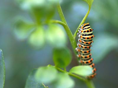 Butterfly Photograph - Swallowtail Caterpillar by Meir Ezrachi