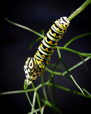 Vertical Photograph - Swallowtail Caterpillar by Priya Ghose