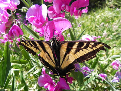 Art Print featuring the photograph Swallowtail by Cheryl Hoyle