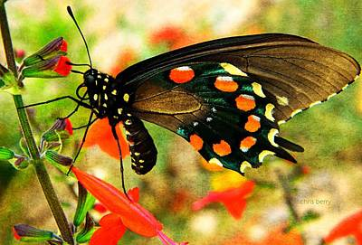 Photograph - Swallowtail  by Chris Berry