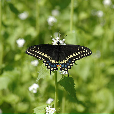 Photograph - Swallowtail by David Armstrong