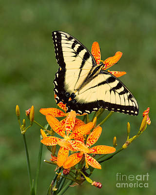 Swallowtail Delight Art Print by Dale Nelson
