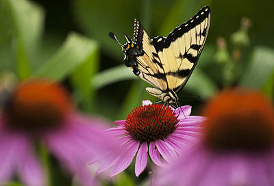 Photograph - Swallowtail by Elsa Marie Santoro