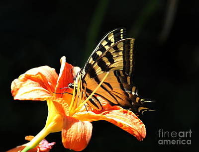 Photograph - Swallowtail  by Erica Hanel