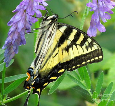 Photograph - Swallowtail  by France Laliberte