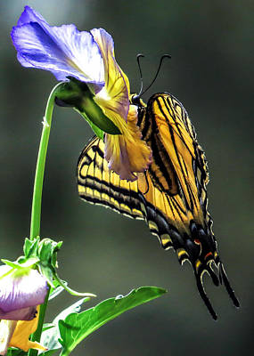 Swallowtail Hang Art Print