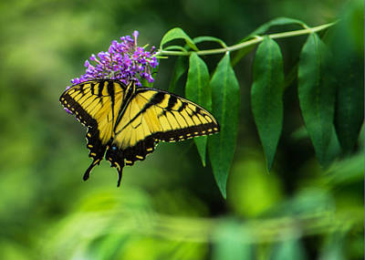 Botanic Photograph - Swallowtail II by Jon Woodhams
