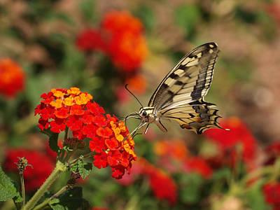 Swallowtail Photograph - Swallowtail II by Meir Ezrachi