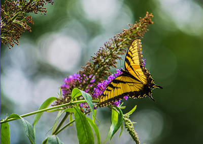Tiger Swallowtail Photograph - Swallowtail IIi by Jon Woodhams