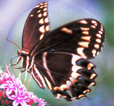 Photograph - Swallowtail In A Bubble by Belinda Lee