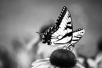 Photograph - Swallowtail In Black And White  by Elsa Marie Santoro