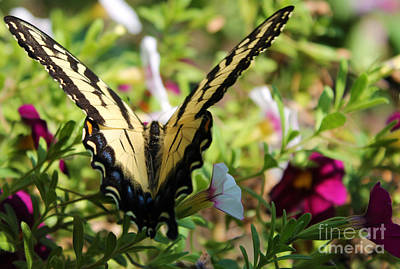Photograph - Swallowtail In Dwarf Petunias by Nina Silver
