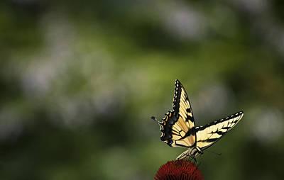 Photograph - Swallowtail In Solitude by Elsa Marie Santoro