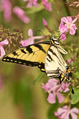 Photograph - Swallowtail In The Garden by Theo OConnor