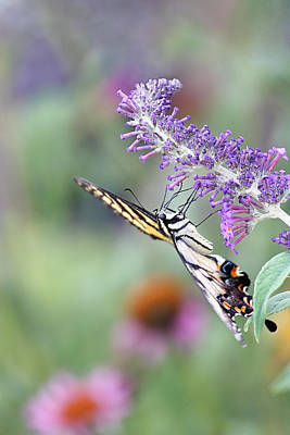 Photograph - Swallowtail In The Garden by Theo
