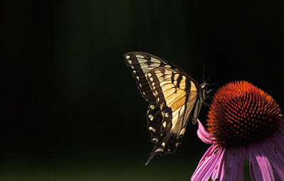 Photograph - Swallowtail In The Light by Elsa Marie Santoro