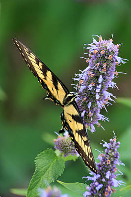 Photograph - Swallowtail In The Yard by Theo O Connor