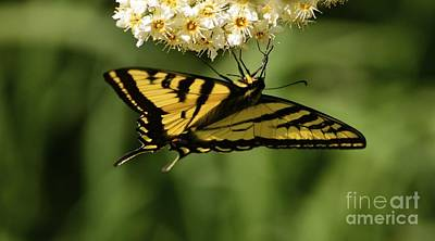 Photograph - Swallowtail by Johanne Peale