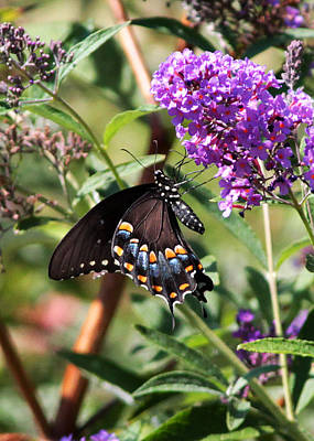 Swallowtail Original by John Freidenberg