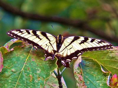 Photograph - Swallowtail by Judy Via-Wolff