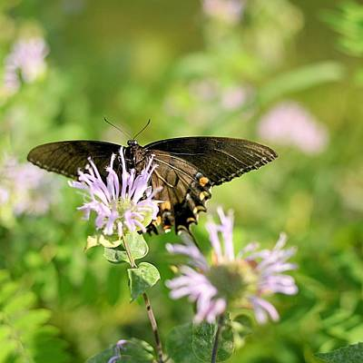 Photograph - Swallowtail Landing by Joel E Blyler