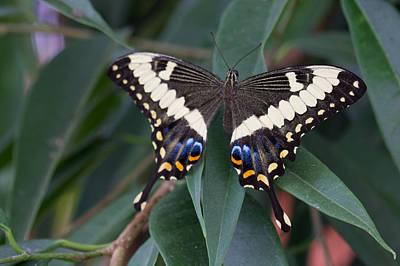 Photograph - Swallowtail by Leah Palmer