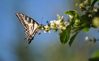 Photograph - Swallowtail by Mark Alan Perry