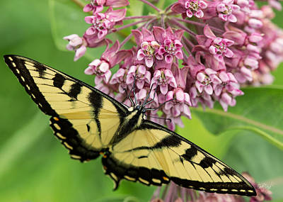 Tiger Swallowtail Photograph - Swallowtail Notecard by Everet Regal