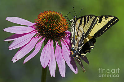 Photograph - Swallowtail On A Coneflower by Sonya Lang