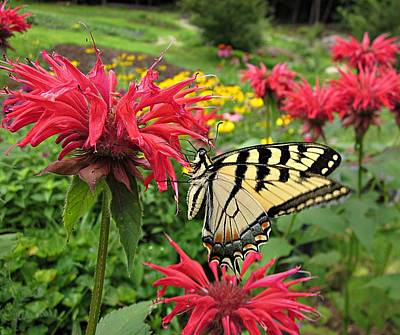 Photograph - Swallowtail On Bee Balm by MTBobbins Photography