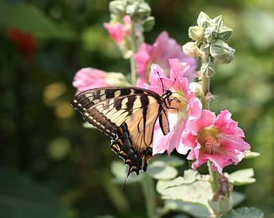 Photograph - Swallowtail On Hollyhock 15 by Lucinda VanVleck