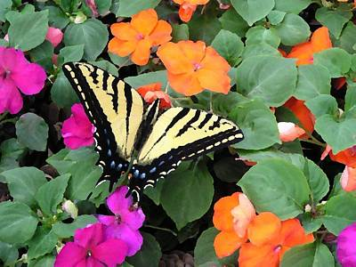 Photograph - Swallowtail On Impatiens by Diane Alexander