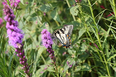 Photograph - Swallowtail On Liatris 28 by Lucinda VanVleck