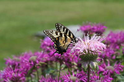 Photograph - Swallowtail On Pink Bee Balm by Lucinda VanVleck