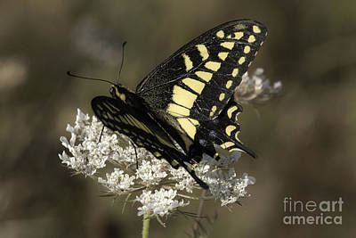 Photograph - Swallowtail on Queen Anne's Lace by Tim Moore