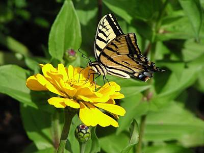 Photograph - Swallowtail On Zinnia by Diane Alexander