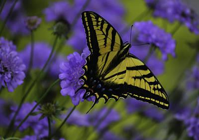 Photograph - Swallowtail-scabiosa-12 by Rae Ann  M Garrett