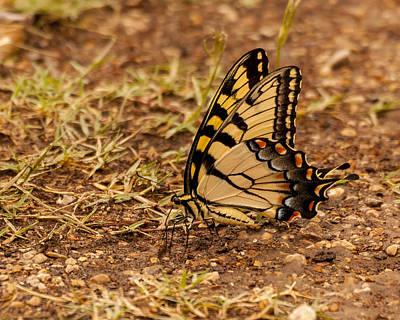Photograph - Swallowtail by Steve Thompson