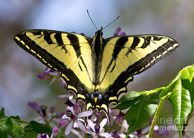 Photograph - Swallowtail by Suzette Kallen