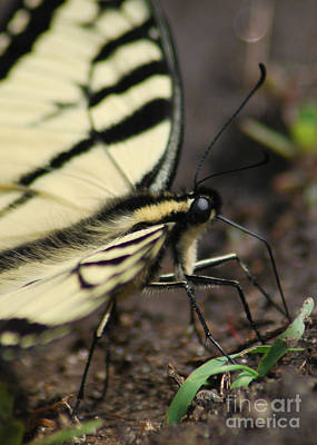 Photograph - Swallowtail by Terri Oberg