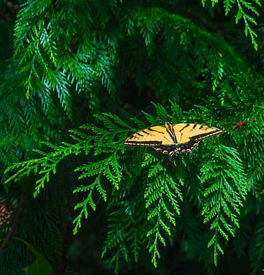 Photograph - Swallowtail Tiger Butterfly by Michael Dohnalek
