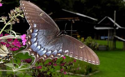 Photograph - Swallowtail With A Lil Vintage  by Kim Galluzzo Wozniak