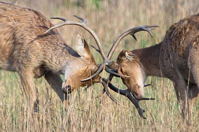 Two Deer Photograph - Swamp Deer Cervus Duvauceli Fighting by Panoramic Images