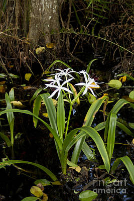 Photograph - Swamp Lily I by Carol McCutcheon