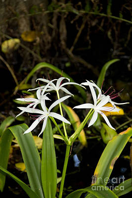 Photograph - Swamp Lily II by Carol McCutcheon