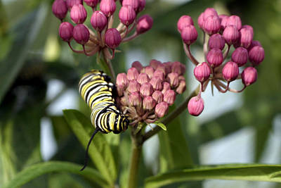 Photograph - Swamp Milkweed And Monarch Butterfly Caterpiller  by Gene Walls