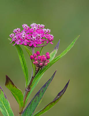 Photograph - Swamp Milkweed by Jim Zablotny
