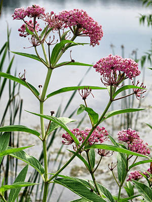 Photograph - Swamp Milkweed - Wildflower by Patricia Januszkiewicz