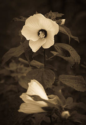Photograph - Swamp Rose Mallow by Melinda Fawver