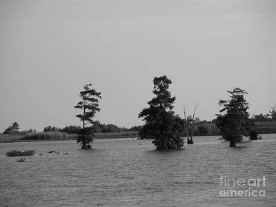 Western Art - Swamp Tall Cypress Trees Black and White by Joseph Baril